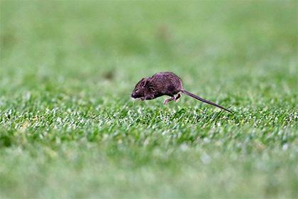Стадион «Манчестер Юнайтед» забраковали из-за грызунов